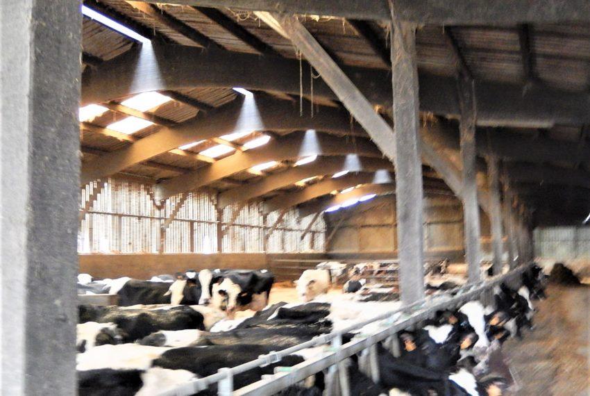 Koeien Barreau